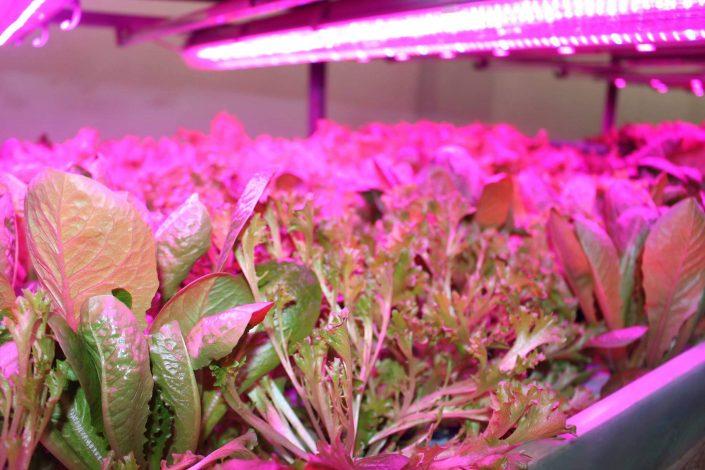 Салат вирощений на гідропоніці