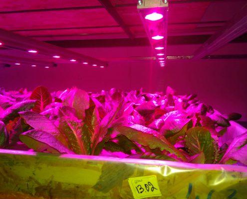 Салат на гідропоніці під лампою