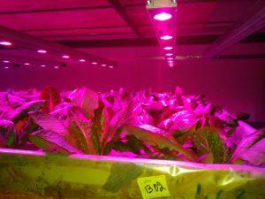 салат по лампой на гидропонике