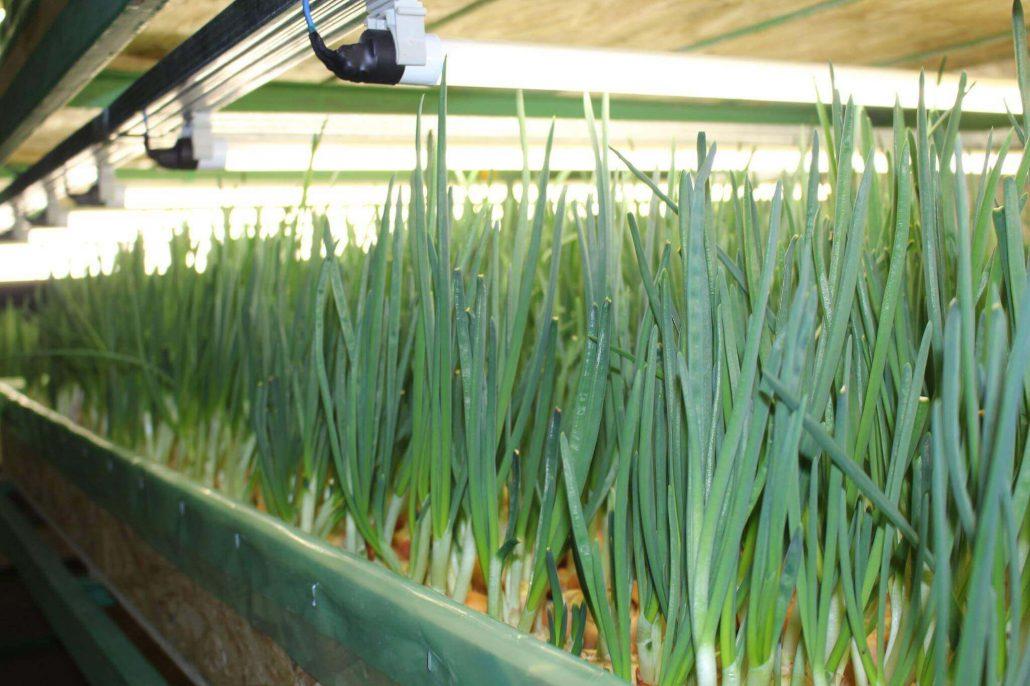 О выращивание укропа на гидропонике 775
