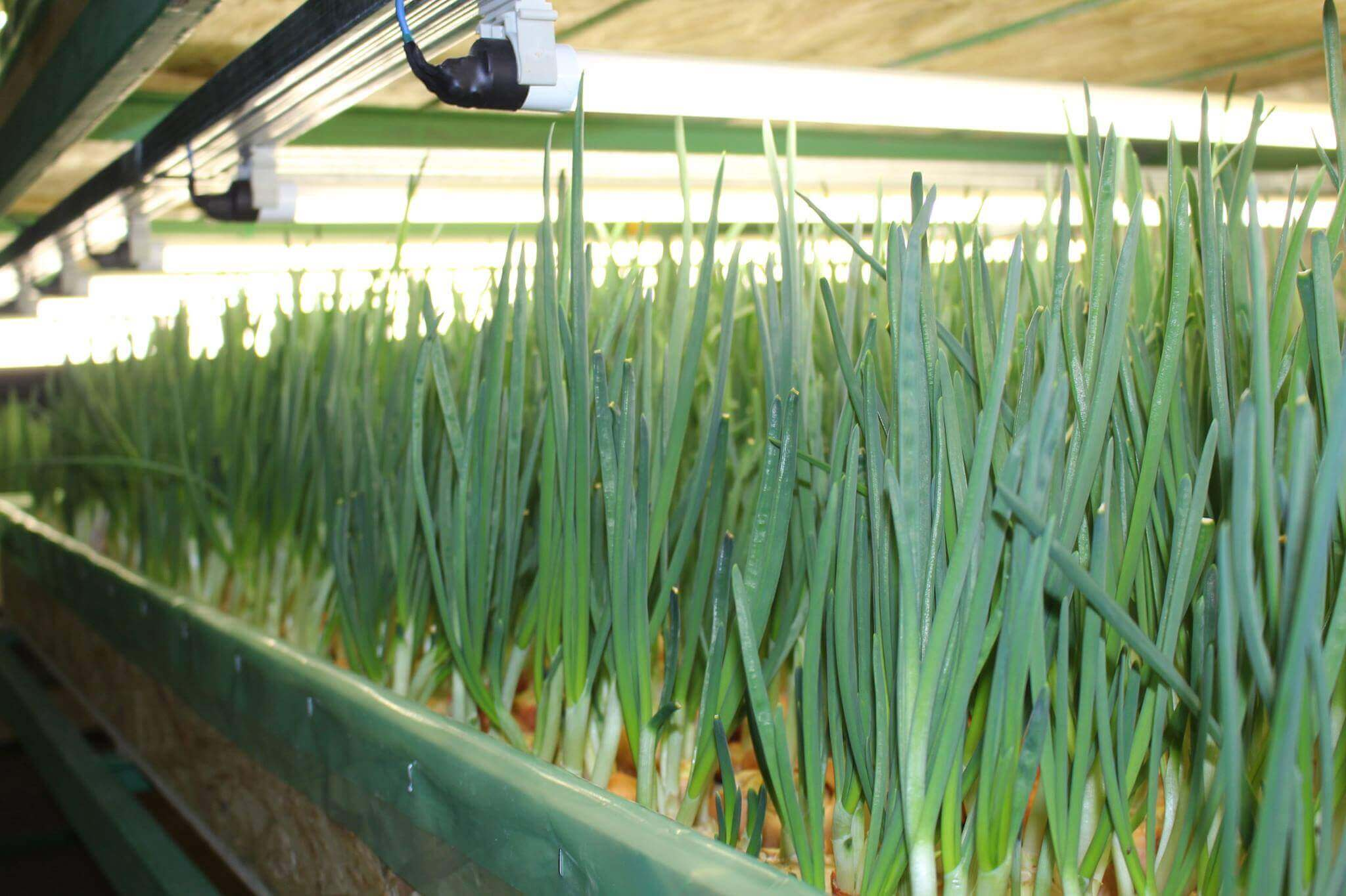 Зеленый лук выращивание на гидропонике 227