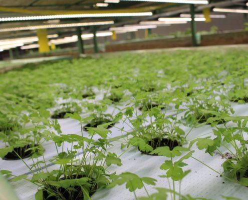 Рослини на гідропоніці