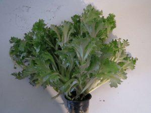 растения на гидропонике